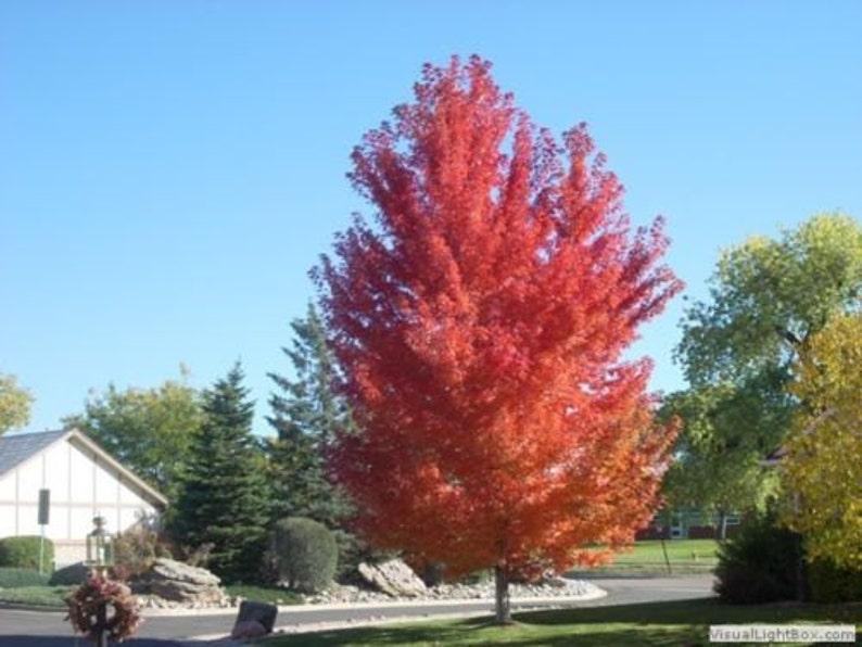 Autumn Blaze Maple Tree Etsy