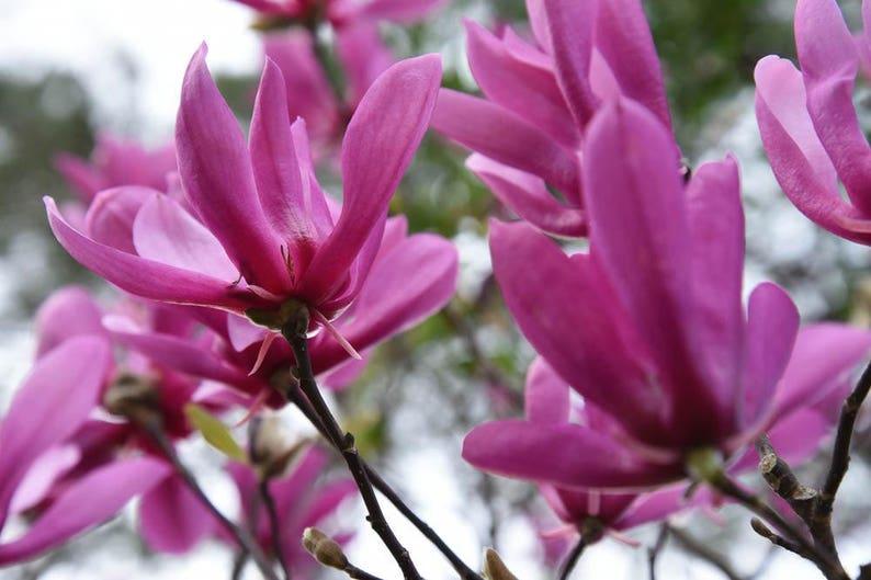 Ann Magnolia Tree Etsy