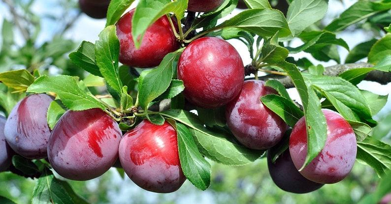 Santa Rosa Plum Tree Abundant Harvest Low Maintenance Fruit Tree Prunus salicina /'Santa Rosa/'