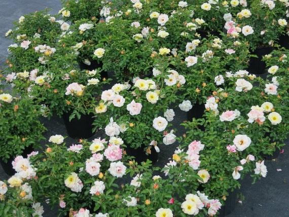 Rose Drift Popcorn Yellow And White Flowers Disease Etsy