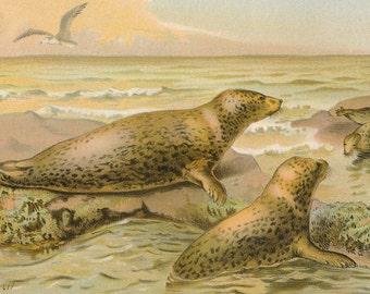 1902 Leopard Seal Antique Print
