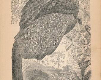 1887 Pheasant Antique Print