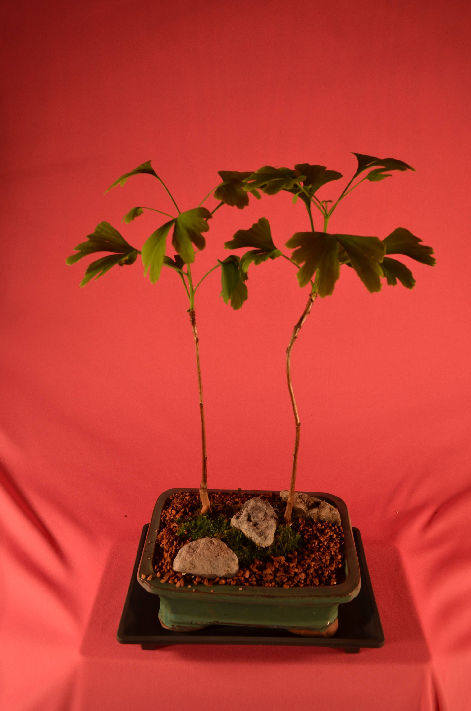 Bonsai Ginkgo Biloba Male Mini Forest Style 5 Years Old Etsy