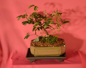 Indoor Bonsai, Mimosa, Sencetive by Touch (touch me not) 5 years old, Nature style, Free watering tray.