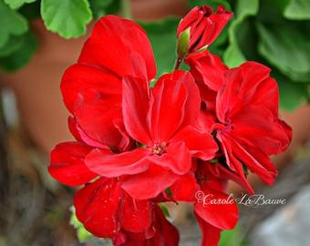 RED GERANIUM Flower Photograph ~ Fine Art Nature Photography ~ Botanical Wall Art ~ Red Garden Flower ~