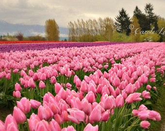 FIELD of TULIPS ~ Flower Photography ~ Botanical Wall Art ~ Tulip Festival ~ Nature Fine Art Photography ~ Floral Landscape