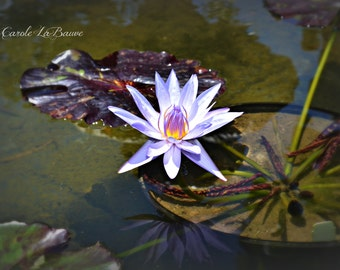 LOTUS FLOWER and LILYPAD ~ Aquatic Garden ~ Botanical wall art ~ Purple Lavender Flower Art ~ Nature Photography ~ Color or Black and White