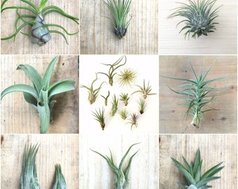 5 Pack assorted Tillandsia air plants - Rainforest Alliance Donation Item!