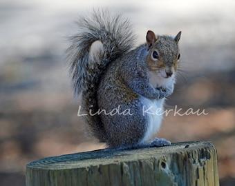 Grey Squirrel on a Stump