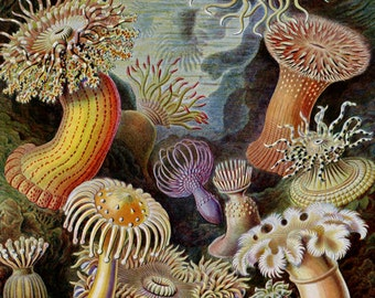 Haeckel's Actiniae Sea Anemones Print - Vintage Ocean Art - Nature Wall Art Print - Marine Decor - Aquatic Poster - Biology Science Art