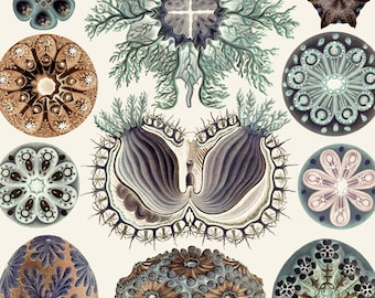 Haeckel's Ascidiae Sea Life Print - Vintage Nature Art - Ocean Print - Marine Decor - Aquatic Biology Poster - Science Art - MP Exclusive