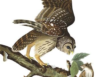 Audubon Barred Owl Art Print - Vintage Art Print - Nature Art - Bird Painting - Nature Print - Owl Decor - Bird Art - Old Maps and Prints