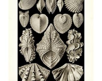 Haeckel's Acephala Seashell Print - Vintage Ocean Art - Nature Wall Art Print - Marine Decor - Aquatic Poster - Biology Science Art