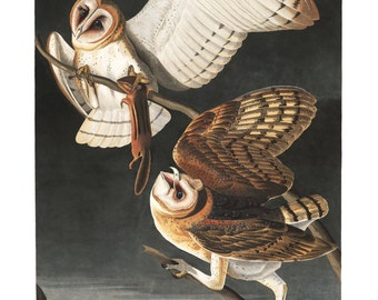 Audubon Barn Owl Art Print - Vintage Art Print - Nature Art - Bird Painting - Nature Print - Owl Decor - Bird Art - Old Maps and Prints