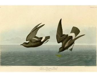Audubon's Least Stormy Petral Art Print - Vintage Nature Art Bird Art - Old Maps and Prints - Masculine Decor - Restoration Style Art Print