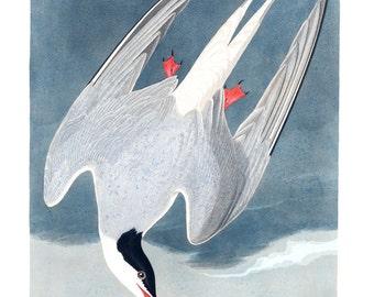 Audubon's Arctic Tern Art Print - Vintage Nature Art Bird Art - Old Maps and Prints - Masculine Decor - Restoration Style Art Print