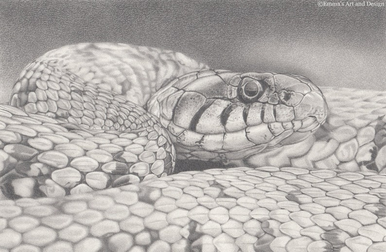 213371dda3 Grass Snake Drawing mounted print of original pencil drawing