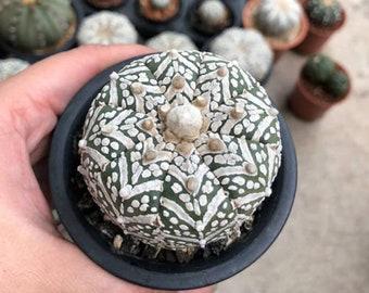 10 SEEDS Cactus Astrophytum V-Type x Super