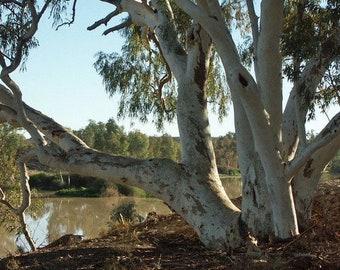 Gum tree | Etsy