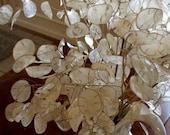 Money Plant White Flower Seeds (Lunaria Biennis) 50 Seeds