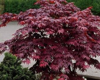 Japanese Maple Seed Etsy