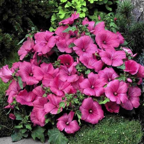 Lovliness 100 Seeds Rose Mallow
