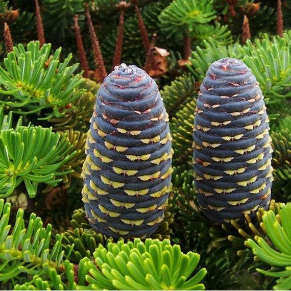 20 PCS Seeds Korean Fir Abies koreana T38 Rare Evergreen Tree Seeds
