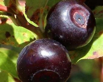 Mountain Huckleberry Bush Seeds (Vaccinium membranaceum) 25+Seeds