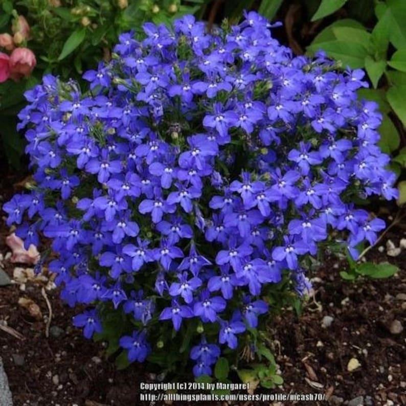 Lobelia Blue Carpet Flower Seeds Lobelia Erinus 200seeds Etsy