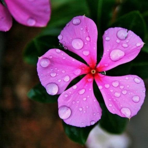 Periwinkle pink flower seeds vinca rosea 100seeds etsy image 0 mightylinksfo