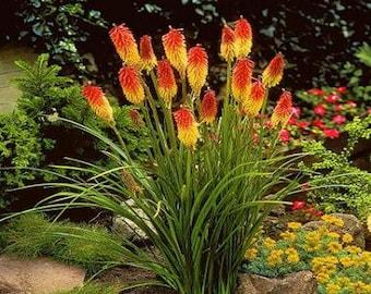 Red Hot Poker Flower Seeds (Kniphofia Caulescens) 50+Seeds