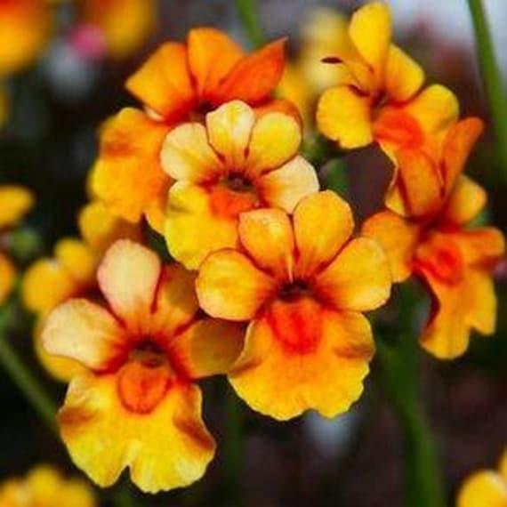 250 seeds Centaurea moschata Annuals Sweet Sultan imperialis Mix