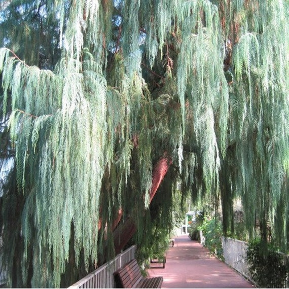 Kashmir Weeping Cypress Tree Seeds 20+Seeds Cupressus cashmeriana
