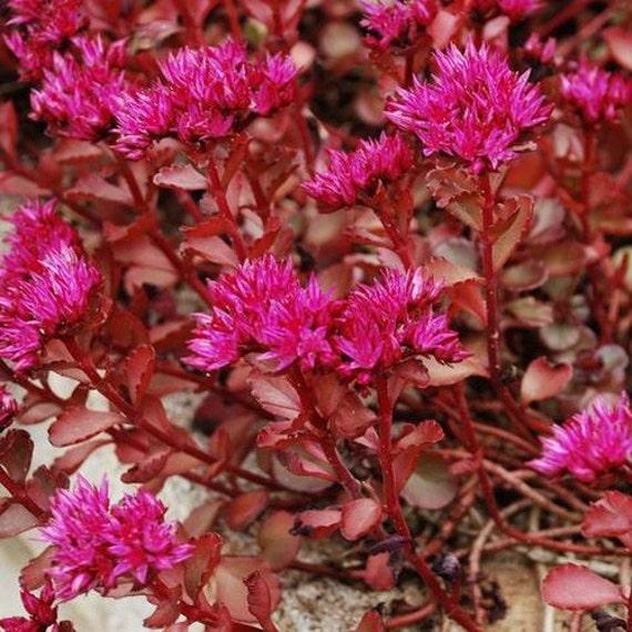 Fleur plantes de rocaille 100 graines Sempervivum technique mixte