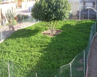 MiniClover Ornamental Grass Seeds (Trifolium repens) 7g Seeds