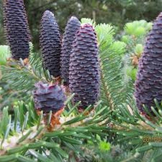 abies amabilis Pacific Silver Fir Tree Seeds 15+Seeds
