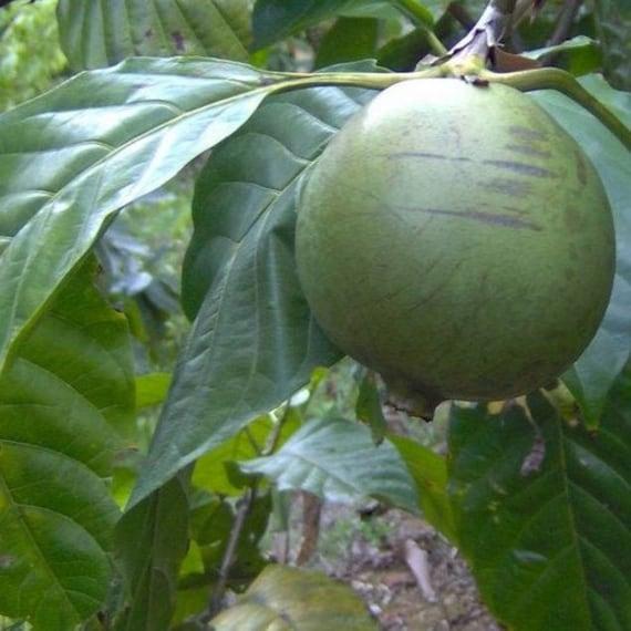 Mussaenda roxburghii EAST HIMALAYAN MUSSAENDA Seeds!