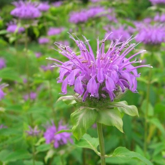 """Résultat de recherche d'images pour """"un bouquet de  violet monarde"""""""