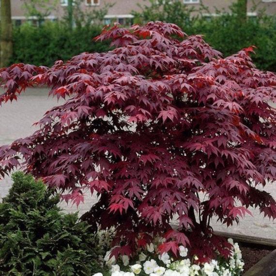 Bloodgood Japanese Maple Tree Seeds Acer Palmatum 10seeds Etsy