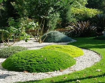Irish Moss Ground Cover Seeds (Sagina Subulata) 200+Seeds