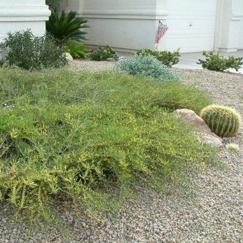 Desert Carpet Acacia Seeds Acacia Redolens Prostrata Etsy