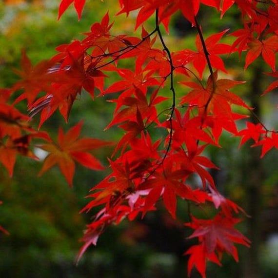 Red Maple Tree Seeds Acer Rubrum 15seeds Etsy