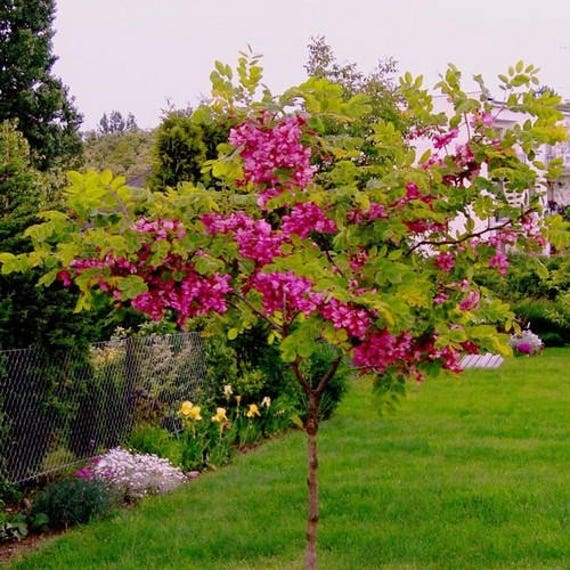 Rose locust tree seeds robinia hispida fertilis 15 seeds etsy image 0 mightylinksfo