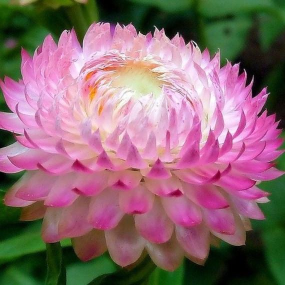 200+Seeds Strawflower Paper Daisy Scarlet Flower Seeds Helichrysum Bracteatum