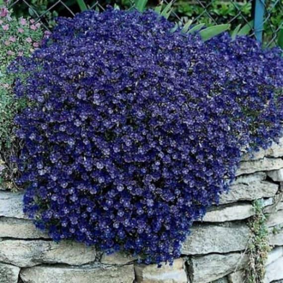 Gänsekresse Aubrieta Hybrida Cascade lila 200 Samen Blume