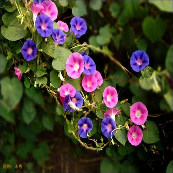 Morning Glory Ensign White- Convolvulus Tricolor Minor - 50 seeds