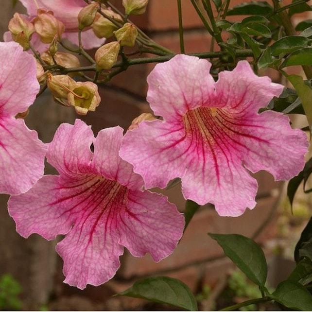 Pink trumpet vine seeds podranea ricasoliana 25seeds etsy image 0 mightylinksfo