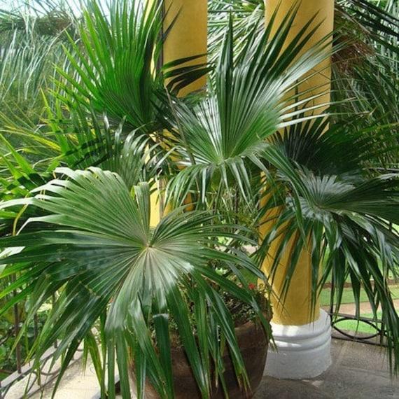Livistona Chinesis 20 seeds Chinese Fan Palm