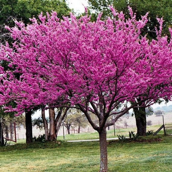 Image result for redbud tree