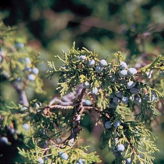 Juniperus scopulorum 30+ Seeds Juniper Tree Seeds Rocky Mt